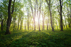 Восход солнца в зеленом лесе стоковое фото rf