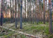 Восход солнца в древесине сосны Стоковое Изображение RF