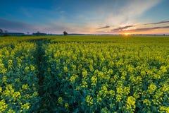 Восход солнца над зацветая полем рапса Стоковое Изображение RF