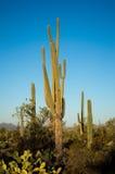 Восход солнца на кактусе saguaro стоковое фото rf