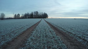 Восход солнца при облака бежать над снежным ростом поля пшеницы, промежутка времени 4K видеоматериал
