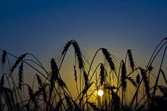 Восход солнца пшеницы Стоковое Фото