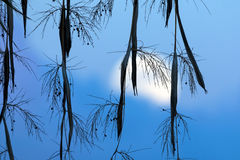 Восход луны через финиковые пальмы Стоковое Изображение