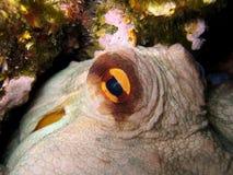 восьминог глаза Стоковые Изображения