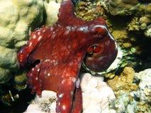 восьминог коралла Стоковое Изображение