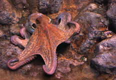 восьминог Стоковое Фото