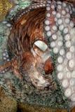 восьминог Стоковое фото RF