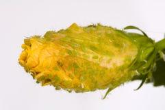 вош infested цветком Стоковое Фото