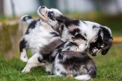2 воюя австралийских щенят чабана Стоковое Изображение