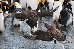 Воюя антартические поморниковые стоковая фотография rf