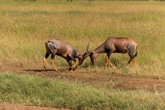 Воюя антилопы тропического шлема Стоковое Фото
