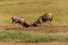 Воюя антилопы тропического шлема Стоковые Изображения