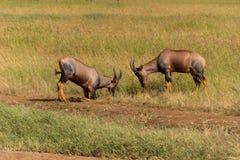 Воюя антилопы тропического шлема Стоковая Фотография
