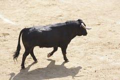 Воюя бык в арене bullring Браво Toro Испания стоковая фотография rf