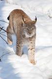 Воюя волки тимберса Стоковое Изображение