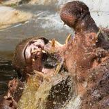 2 воюя гиппопотама (amphibius бегемота) Стоковые Изображения