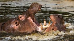 2 воюя гиппопотама (amphibius бегемота) Стоковое Фото
