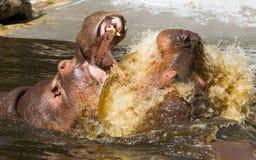 2 воюя гиппопотама (amphibius бегемота) Стоковая Фотография