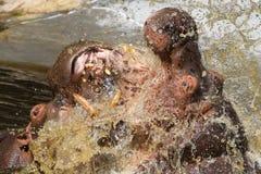 2 воюя гиппопотама (amphibius бегемота) Стоковые Фотографии RF