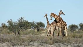 Воюя жирафы сток-видео