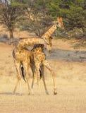 Воюя жираф в Kalahari Стоковое фото RF