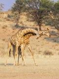 Воюя жираф Стоковое Фото