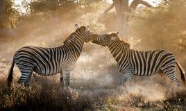 Воюя зебра Стоковое Фото