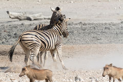 Воюя зебры в национальном парке Etosha, Намибии Стоковые Изображения