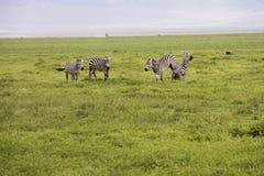 Воюя зебры, кратер Ngorongoro, Танзания Стоковые Фото