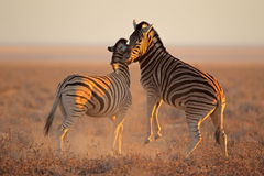 Воюя зебры Стоковые Фото
