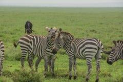 Воюя зебры Стоковое фото RF
