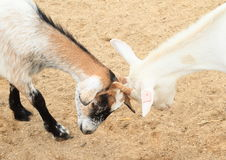 Воюя козы Стоковые Изображения