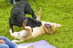 Воюя конец-вверх собаки Стоковые Фотографии RF