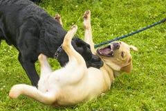 Воюя конец-вверх собаки Стоковые Изображения RF
