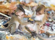 Воюя обезьяна cubs на пляже обезьяны острова Phi Phi Стоковое Фото
