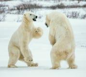 Воюя полярные медведи (maritimus Ursus) на снеге Стоковые Фотографии RF