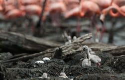 Воюя птицы младенца карибского фламинго Стоковая Фотография