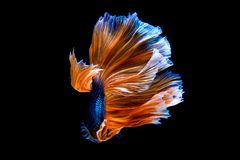 воюя рыбы изолированные на черной предпосылке Рыбы Betta Стоковые Изображения RF