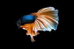воюя рыбы изолированные на черной предпосылке Рыбы Betta Стоковые Изображения