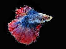 Воюя рыбы, красивые рыбы, рыбы Сиам красивого цвета воюя, чернят предпосылку Стоковая Фотография