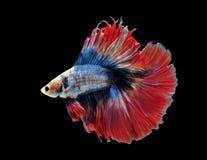 Воюя рыбы, красивые рыбы, рыбы Сиам красивого цвета воюя, чернят предпосылку Стоковая Фотография RF