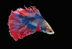 Воюя рыбы, красивые рыбы, рыбы Сиам красивого цвета воюя, чернят предпосылку Стоковые Фото