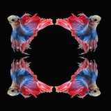 Воюя рыбы, красивые рыбы, рыбы Сиам красивого цвета воюя, чернят предпосылку Стоковое Фото