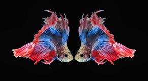 Воюя рыбы, красивые рыбы, рыбы Сиам красивого цвета воюя, чернят предпосылку Стоковое фото RF
