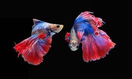 Воюя рыбы, красивые рыбы, рыбы Сиам красивого цвета воюя, чернят предпосылку Стоковые Изображения RF