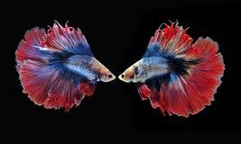 Воюя рыбы, красивые рыбы, рыбы Сиам красивого цвета воюя, чернят предпосылку Стоковые Изображения