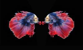 Воюя рыбы, красивые рыбы, рыбы Сиам красивого цвета воюя, чернят предпосылку Стоковые Фотографии RF