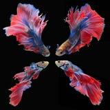 Воюя рыбы, красивые рыбы, рыбы Сиам красивого цвета воюя, чернят предпосылку Стоковое Изображение