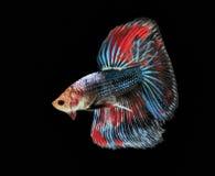 Воюя рыбы, красивые рыбы, рыбы Сиам красивого цвета воюя, чернят предпосылку Стоковое Изображение RF