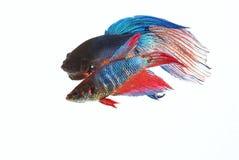 Воюя рыбы 3 Стоковое фото RF